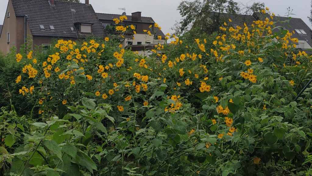 Topinambur im eigenen Garten