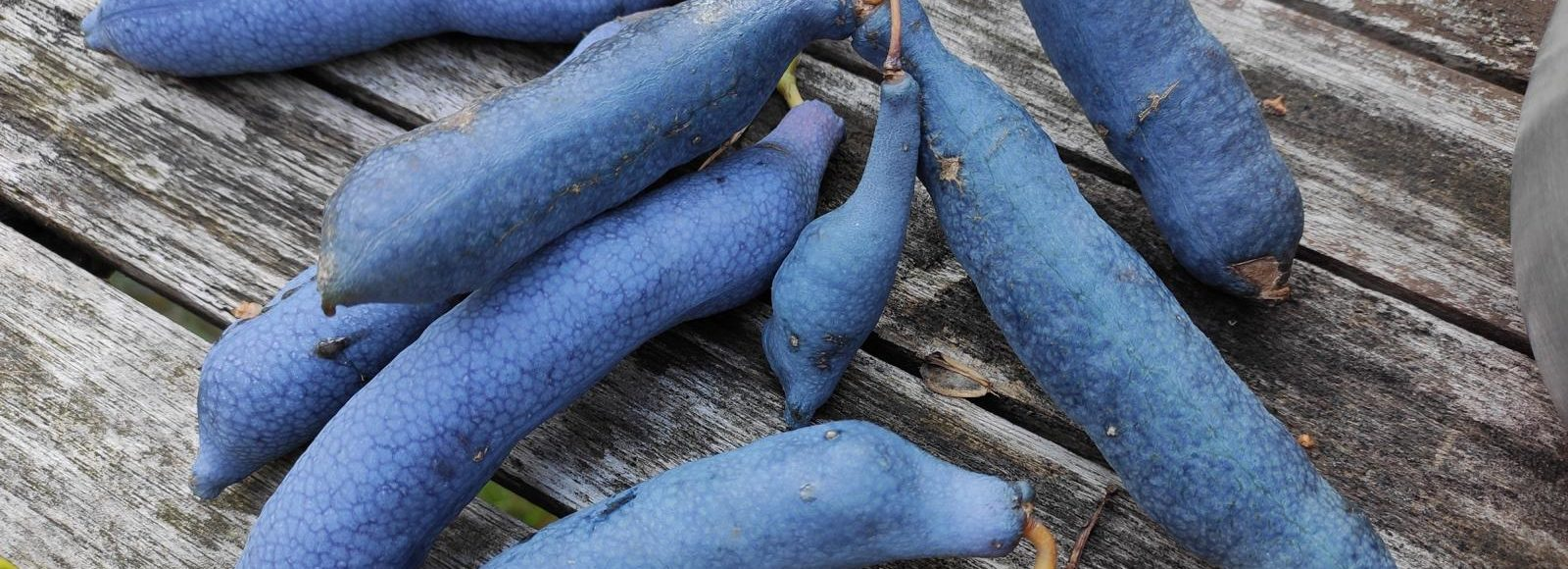 Exot vorgestellt: Die Blaugurke